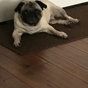 Need sales quick my Pug Elizabeth had Pyometra